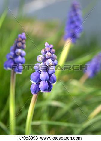Stock Photo of Bluebells flower (Grape Hyacinth, Muscari.