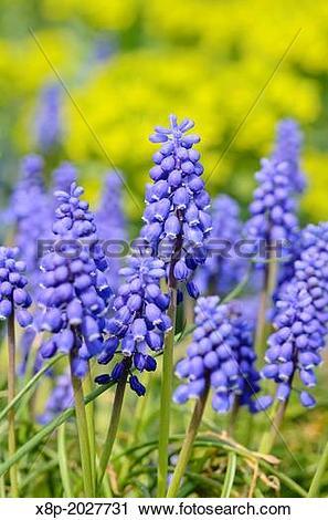 Stock Photography of Armenian grape hyacinth (Muscari armeniacum.