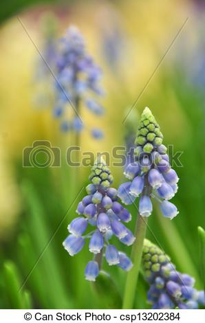 Pictures of Bluebells (Grape Hyacinth, Muscari armeniacum) in a.