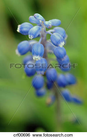 Stock Images of Grape hyacinth (Muscari armeniacum) crf00696.