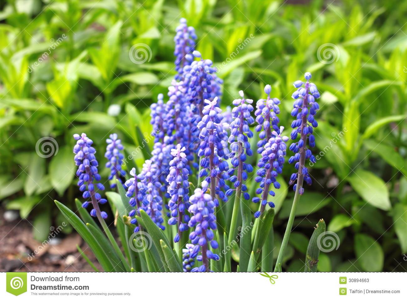 Grape Hyacinth (Muscari Armeniacum) Stock Photos.