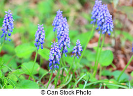 Picture of Purple muscari botryoides csp16105375.