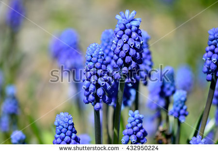 Purple Muscari Botryoides Stock Photos, Royalty.
