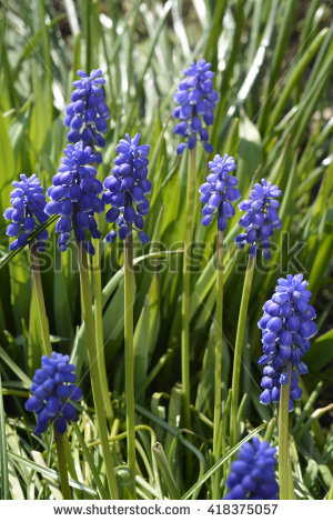 Purple Muscari Botryoides Stock Photos, Royalty.
