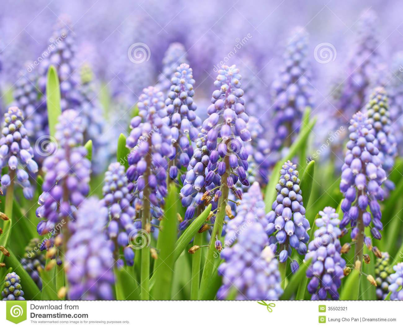 Purple Muscari Botryoides Stock Image.