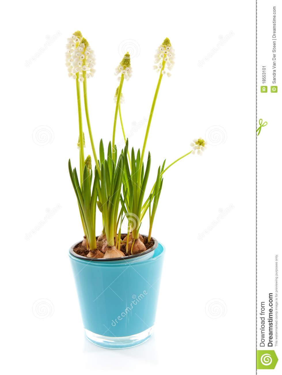 Isolated White Magic Flower Of Muscari Botryoides Stock Image.