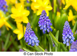Stock Images of Muscari botryoides flowers in closeup.