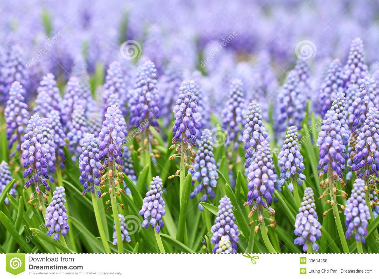 Purple Muscari Botryoides Royalty Free Stock Photos.