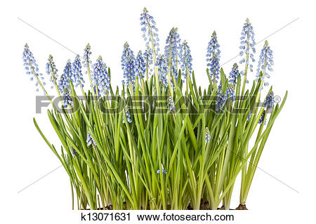 Stock Photography of Muscari botryoides flowers also known as blue.