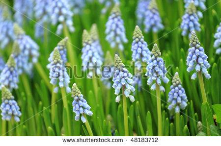 Grape Hyacinths Stock Photos, Royalty.