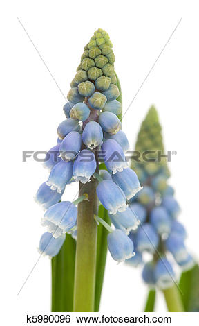Stock Images of Muscari botryoides flower also known as blue grape.