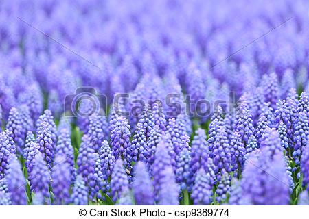 Stock Photo of flower, muscari botryoides csp9389774.