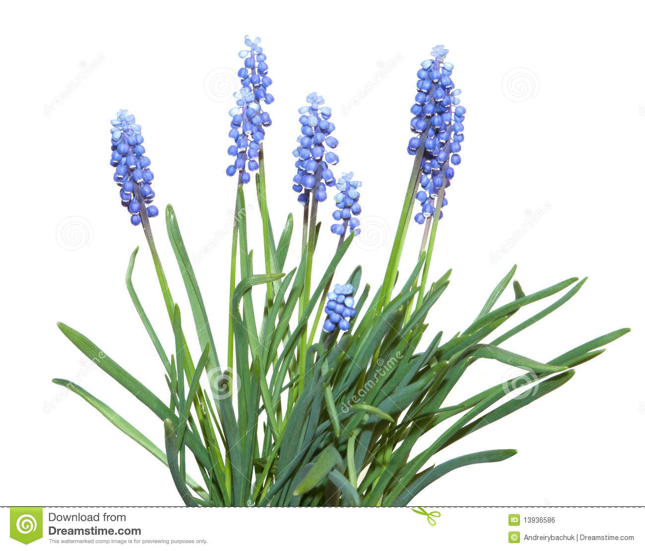 Muscari Flowers Royalty Free Stock Image.
