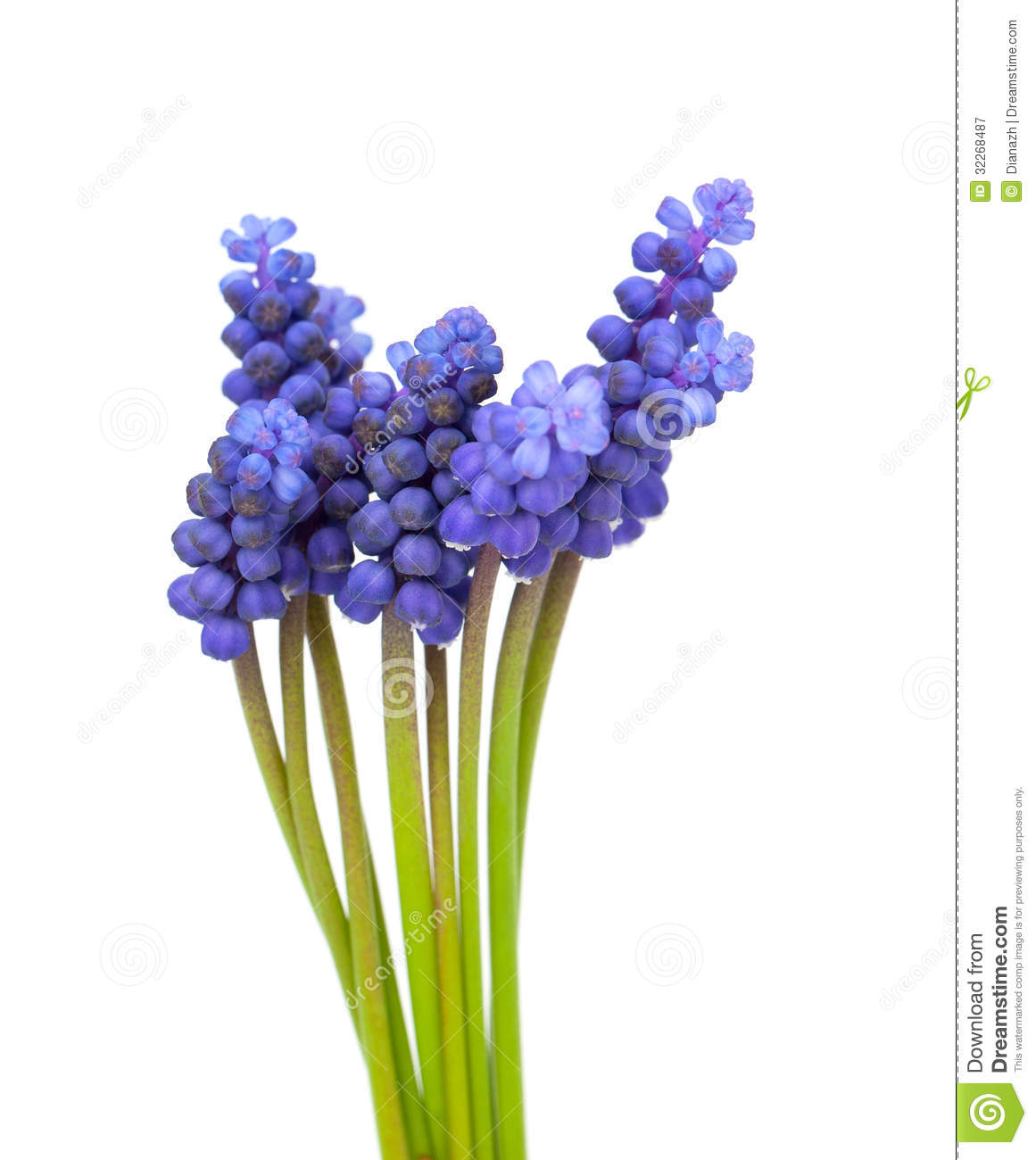 Muscari Flowers Royalty Free Stock Photography.