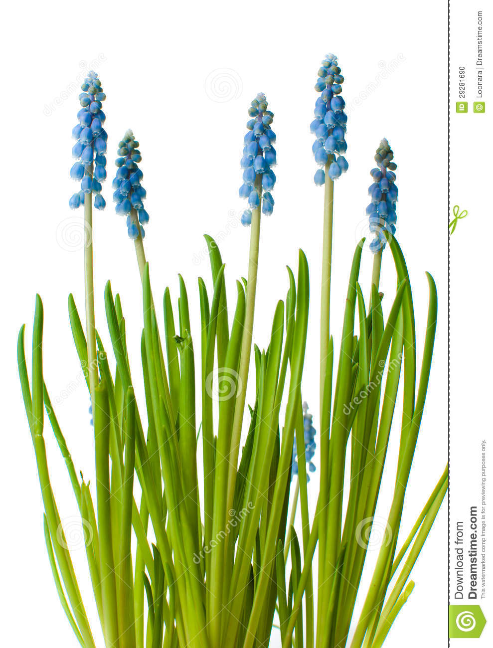 Blue Muscari Flowers, Isolated Stock Photo.