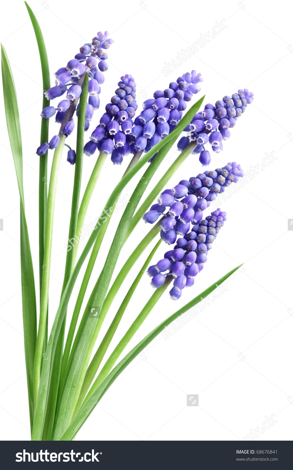 Grape Hyacinth Muscari Flower Early Spring Stock Photo 68676841.