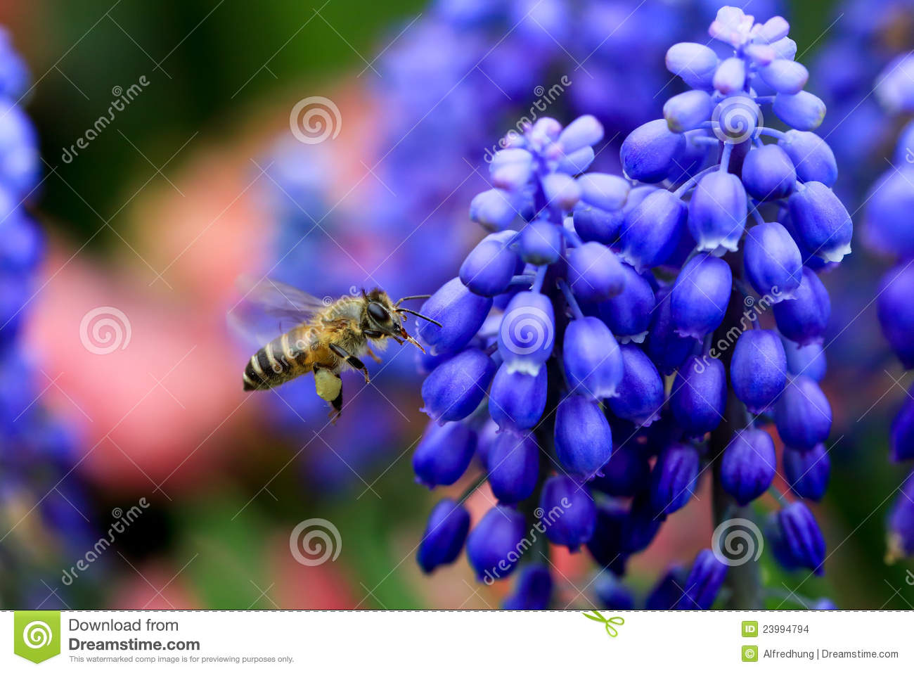 Busy Bee Between Muscari Neglectum Stock Images.