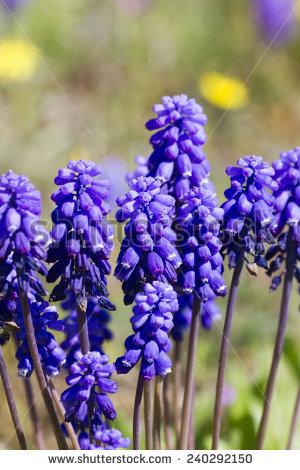 Common Grape Hyacinth Stock Photos, Royalty.