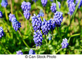 Pictures of Muscari neglectum flowers in the spring nature with.