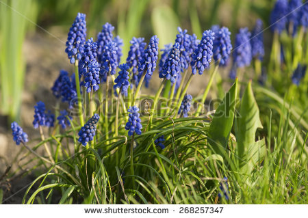 Muscari garden Stock Photos, Images, & Pictures.