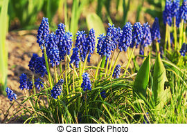 Stock Photography of Muscari neglectum flowers in the spring.