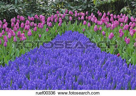 Stock Images of Netherlands, Keukenhof Park, Tulips and Hyacinths.