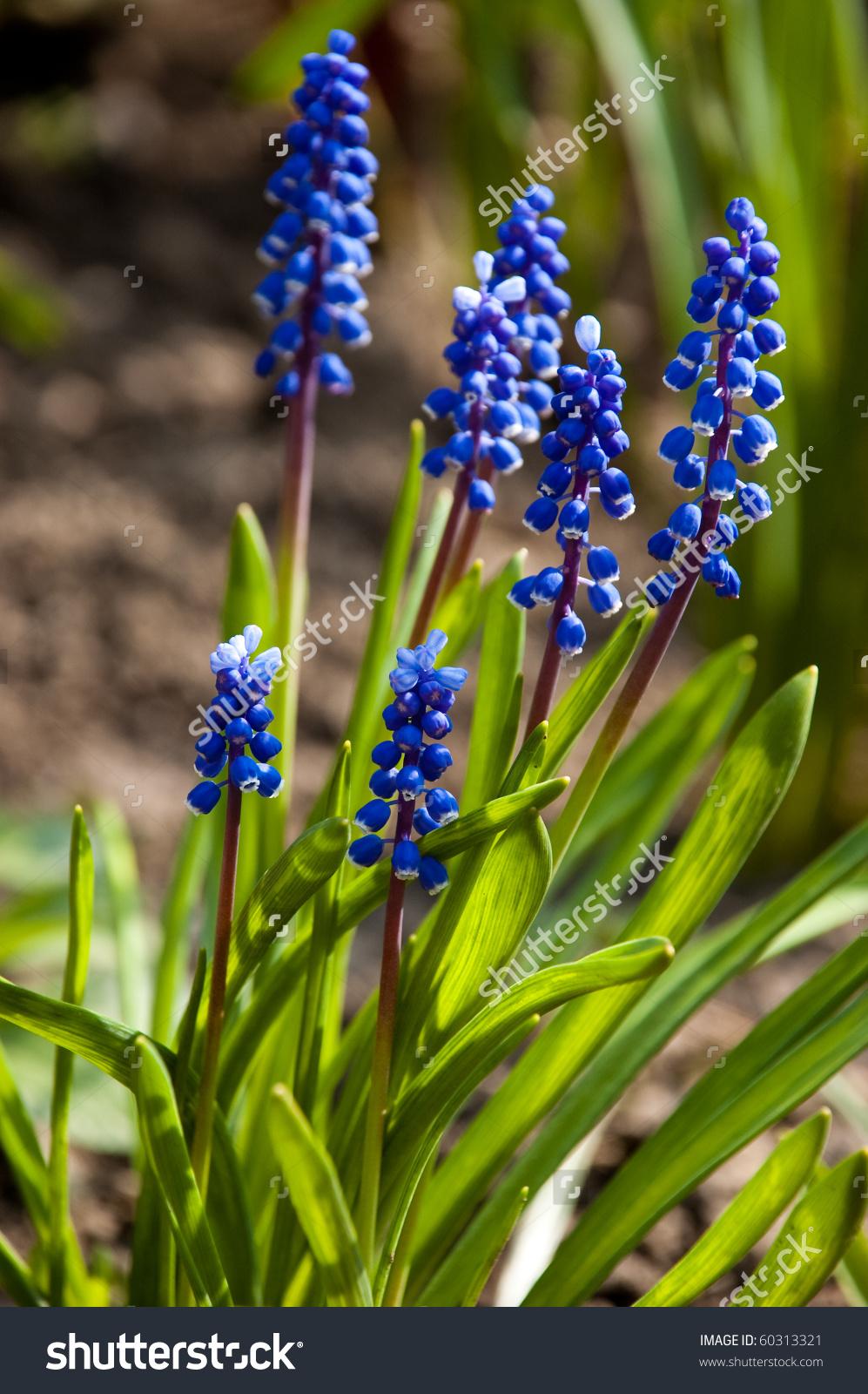 Liliaceae.