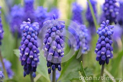 Grape Hyacinth (Muscari Racemosum) Stock Photos.