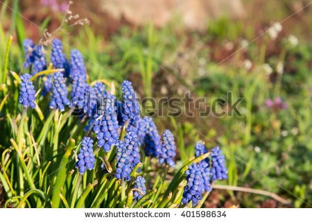 Grape Hyacinth Flower Bed Stock Photos, Royalty.