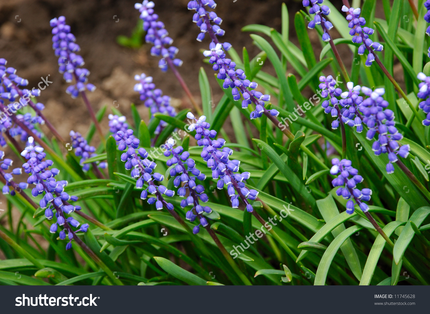 Liliaceae Muscari Racemosum Blue Spring Flower Stock Photo.