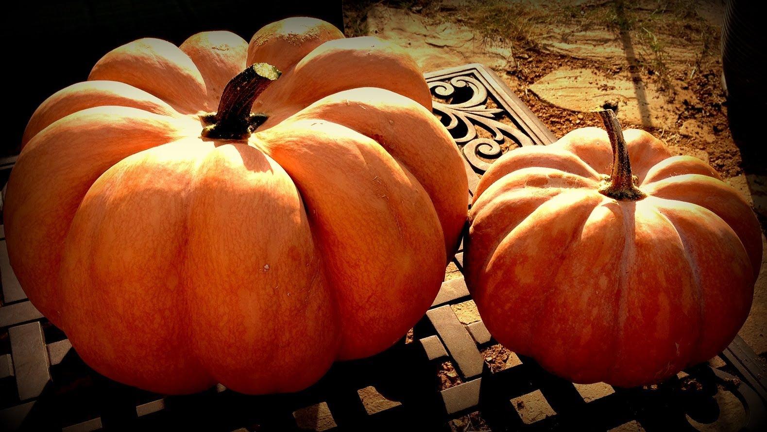 Harvesting Musquée de Provence Pumpkins.