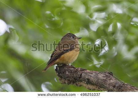 Muscicapidae Family Stock Photos, Royalty.
