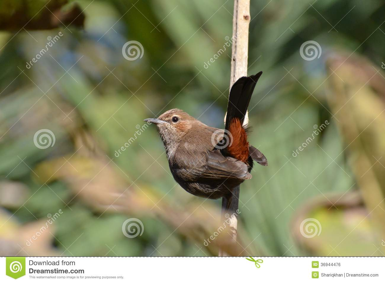 Small Bird Indian Robin Royalty Free Stock Image.