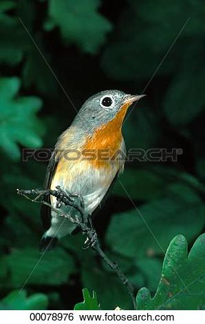 Stock Images of Juniors, Muscicapidae, Old, World, animal, animals.