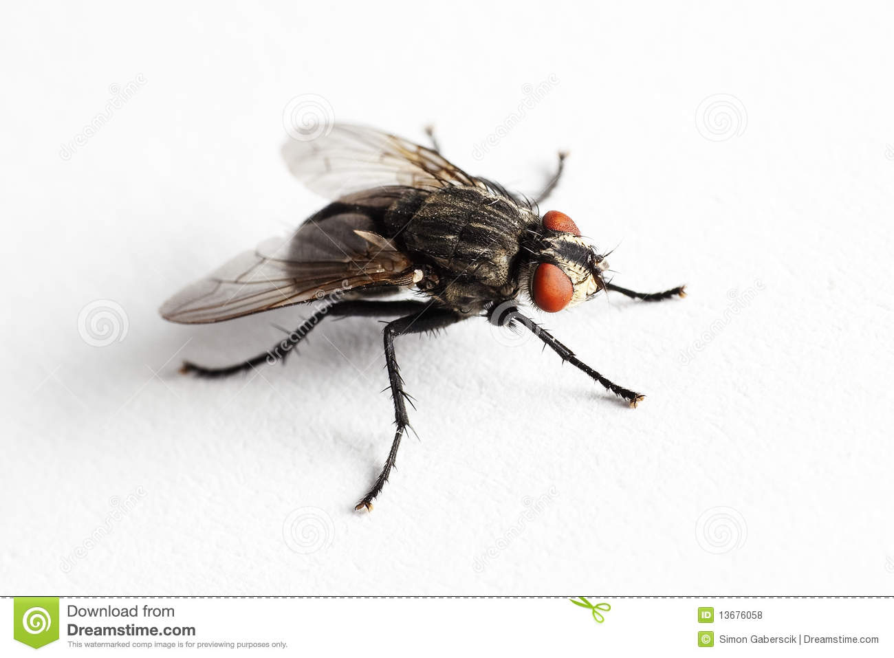 House Fly (Muscidae Domestica) Royalty Free Stock Photos.