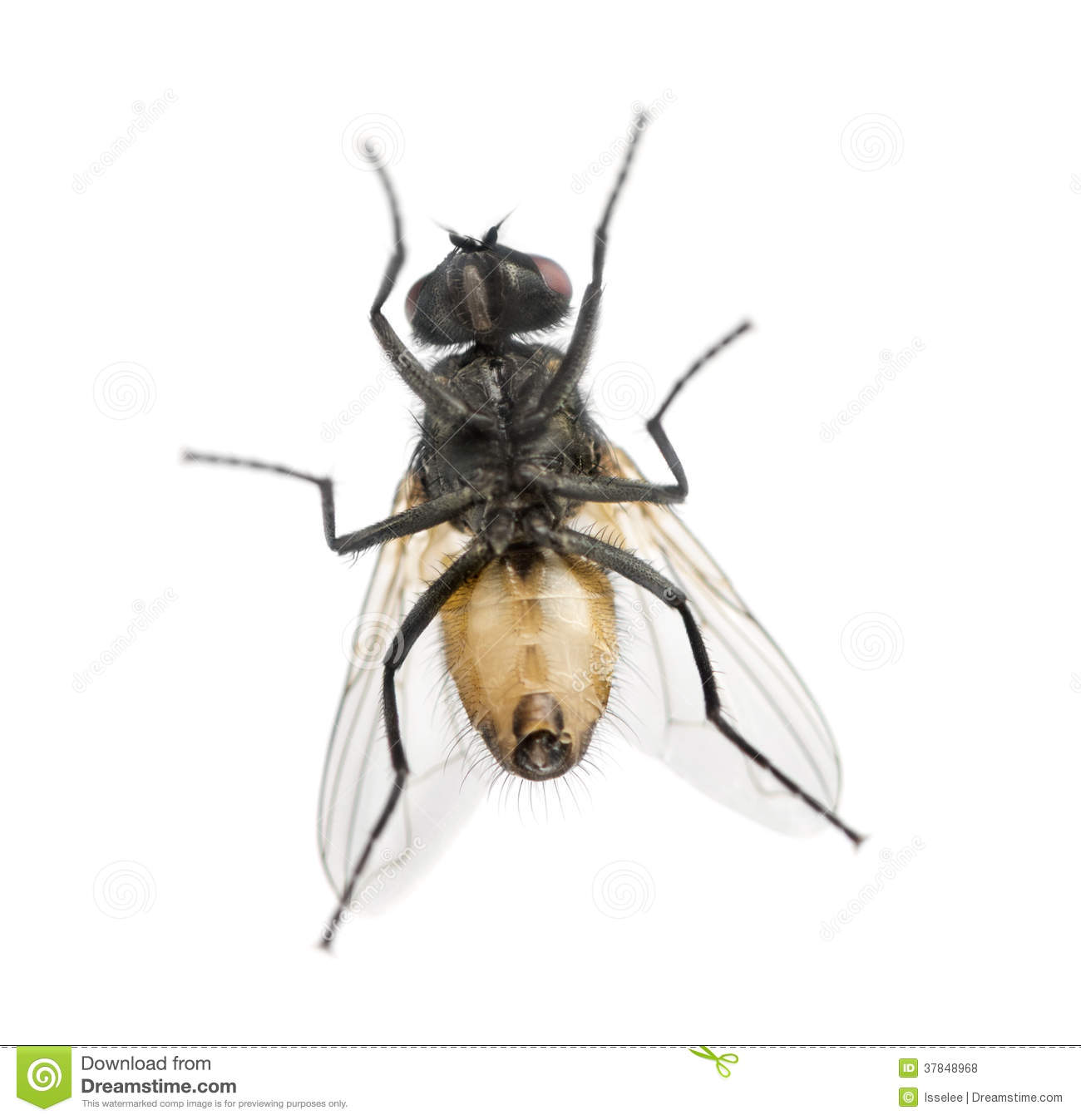 View From Below Of A House Fly, Muscidae, Isolated Royalty Free.