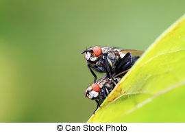 Stock Photographs of two muscidae insects mating on the green leaf.