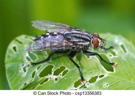 Pictures of i musca domestica in a leaf.