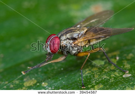 Macro Muscidae Shot Stock Photos, Images, & Pictures.