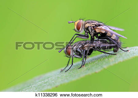 Stock Images of two muscidae insects mating k11338296.