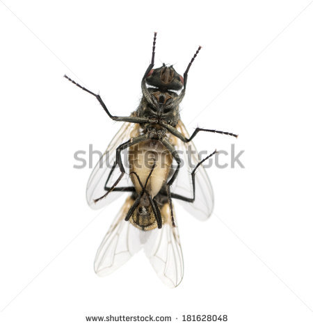 Stable Fly Stock Photos, Royalty.