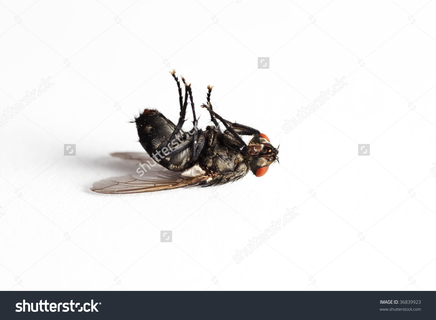 Dead House Fly (Muscidae Domestica), Macro On White Background.