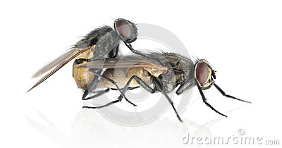 Side View Of Two House Flies Copulating, Muscidae, Isolated Stock.