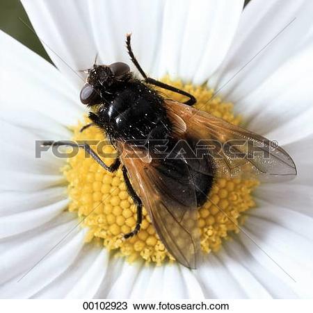 Stock Photo of Juniors, Muscidae, animal, animals, daisies, daisy.