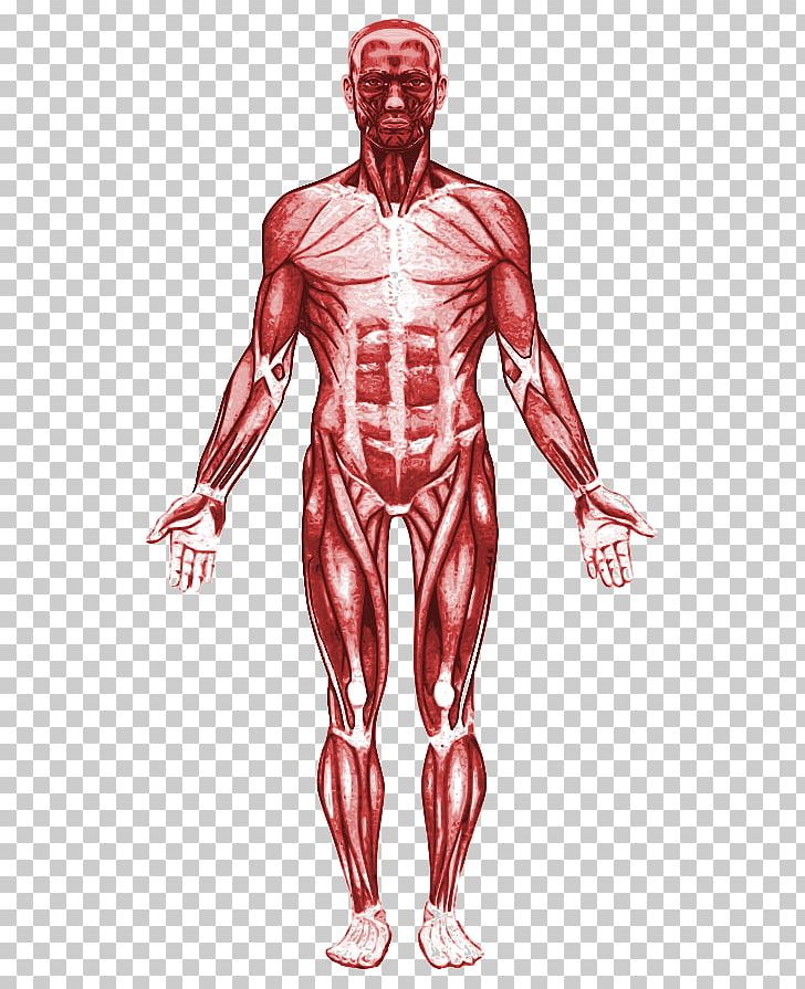 Human Body Muscular System Muscle Anatomy Organ PNG, Clipart.