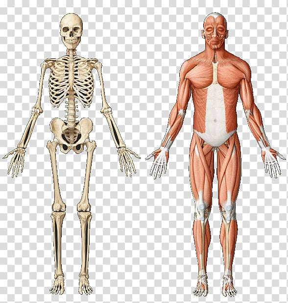 Skeletal muscle Anatomy Muscular system Human skeleton.