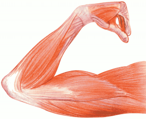 Muscles Clip Art Download.