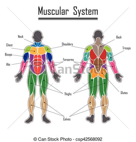 Human muscular system.