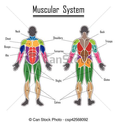 Human muscular system.