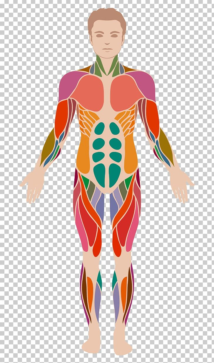 Human Body Anatomy Muscle Muscular System PNG, Clipart.